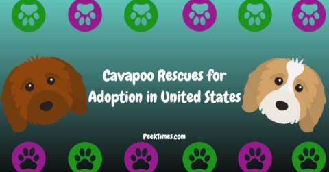 Cavapoo Rescues for Adoption